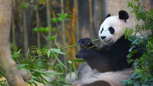 Singapore: Jia Jia eating bamboo... [Photo of the day - 21 AUGUST 2016]