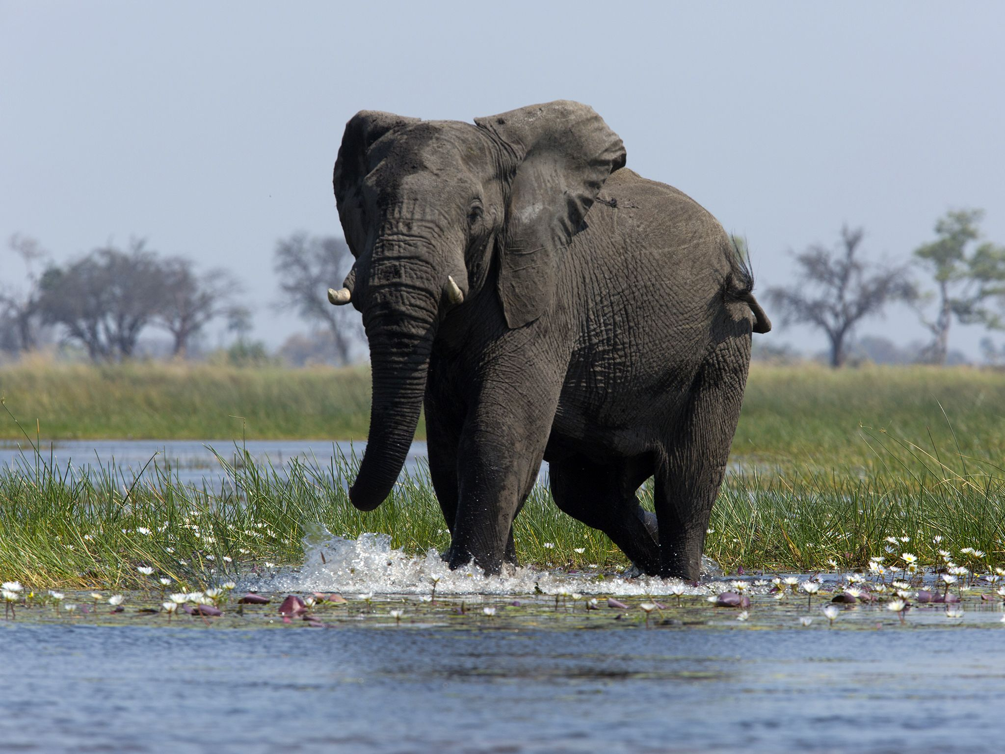 Botswana: Elephant walking into water, spotted on a river safari. This image is from Safari... [Photo of the day - سپتامبر 2016]