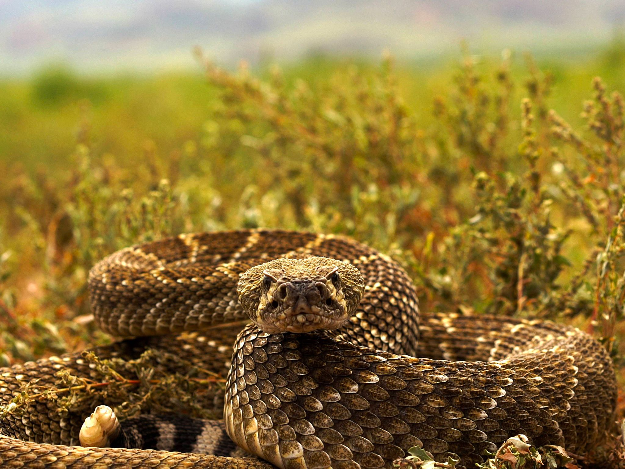 Arizona: Western diamondback rattlesnake in strike pose. This image is from Viper Queens. [Photo of the day - September 2016]