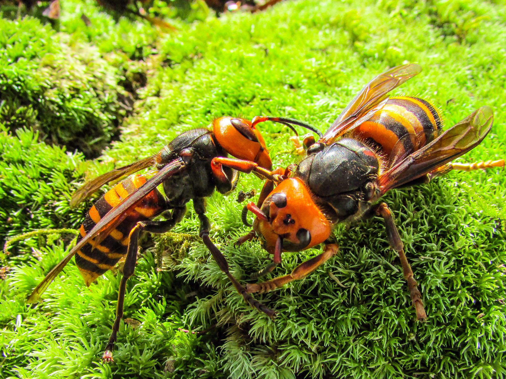 Matsuyama, Japan: Japanese giant hornets sitting on the grass communicating with each other.... [Photo of the day - September 2016]