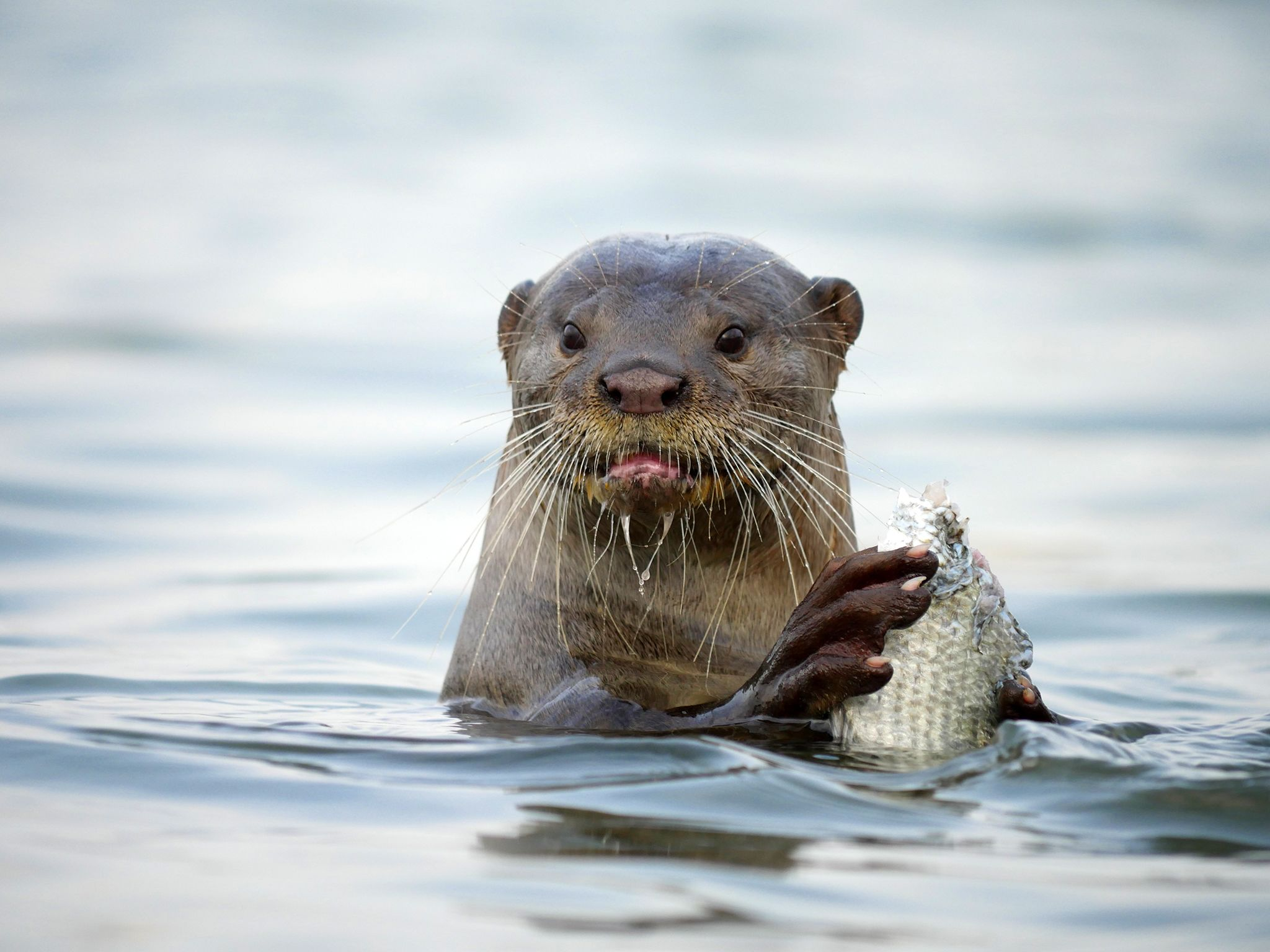 Singapore: An otter in the midst of his meal. This image is from Otter Town. [Photo of the day - سپتامبر 2016]