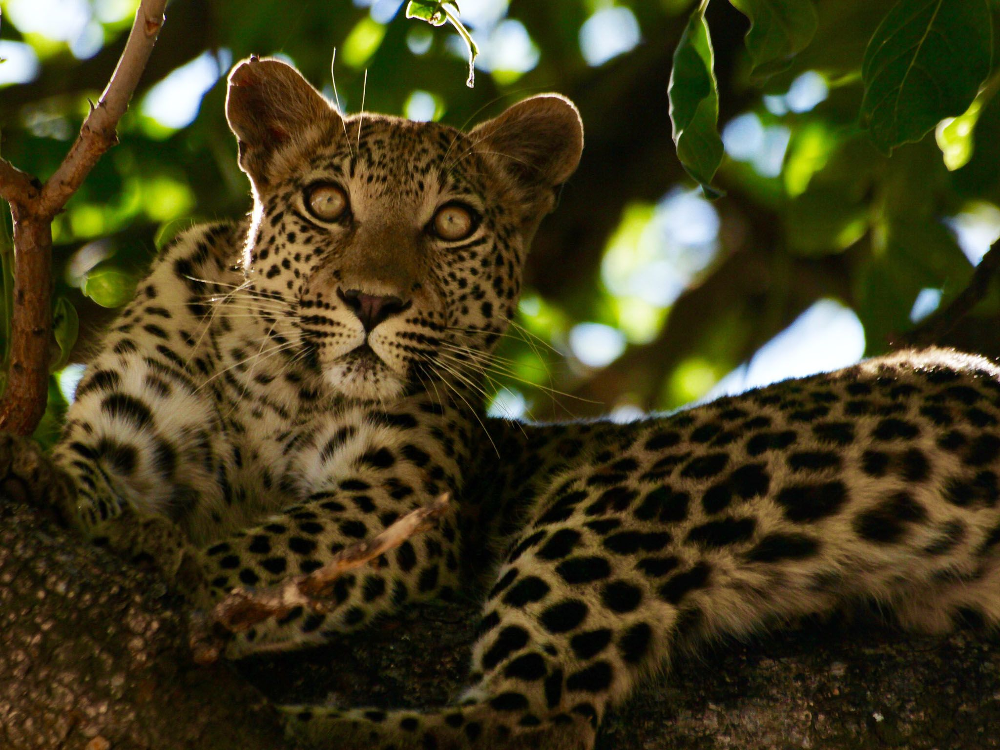 Botswana: Leopard lounging in tree. This image is from Safari Brothers. [Photo of the day - September 2016]