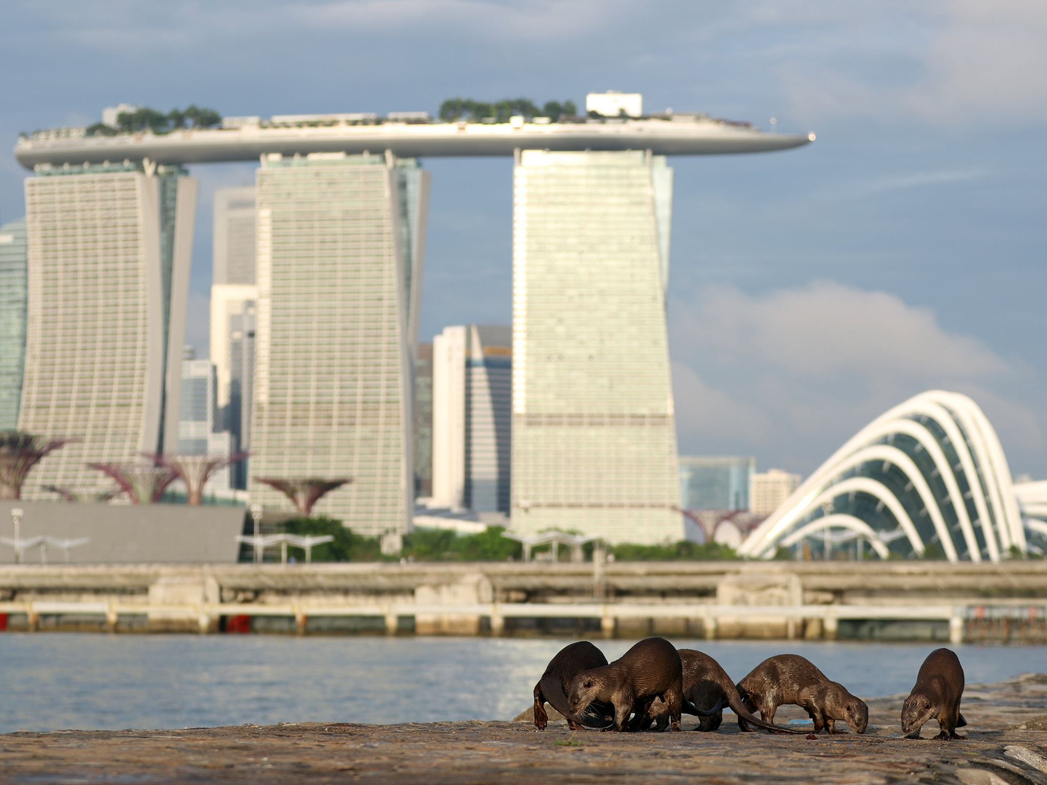Singapore: A family of otters marking an area with their scent. This image is from Otter Town. [Photo of the day - September 2016]