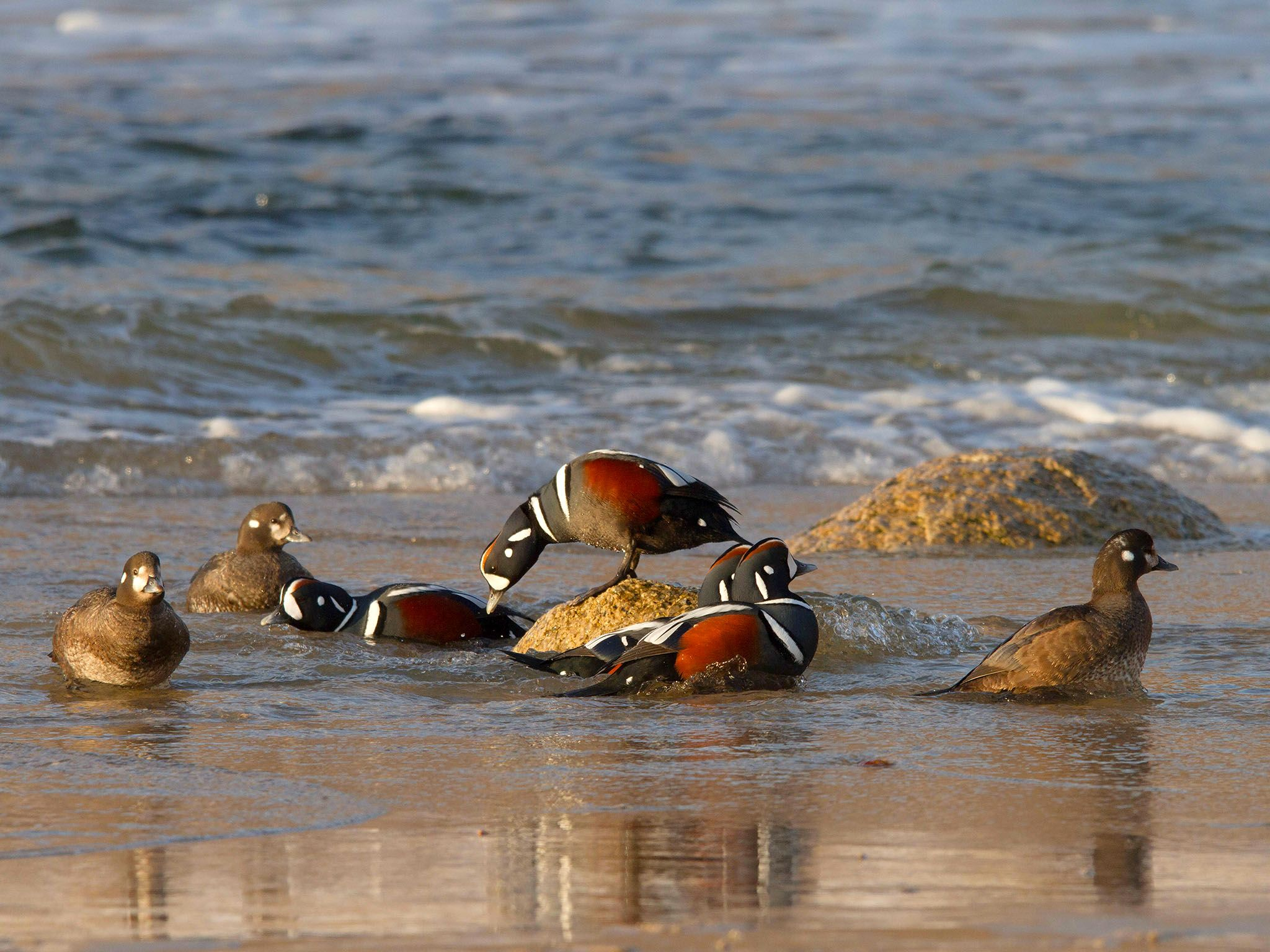 Harlequin ducks at the coast; only the males show full coloration. This image is from Amur:... [Photo of the day - سپتامبر 2016]