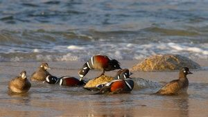 Harlequin ducks at the coast; only... [Photo of the day - 25 SETEMBRO 2016]