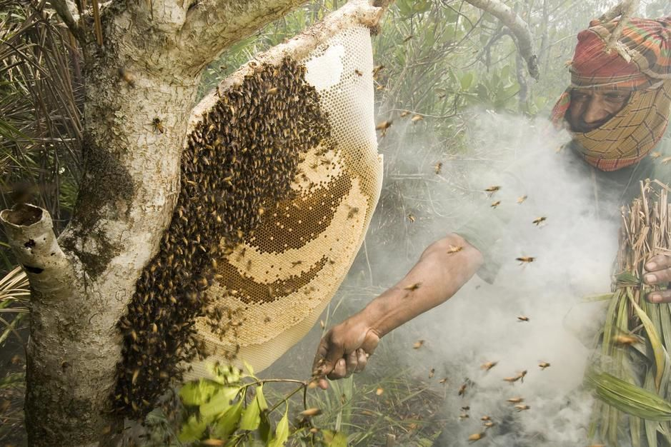 Collecting honey from a honeycomb of the giant honeybee using smoke, Khulna Province. [Fotografija dneva - december 2011]