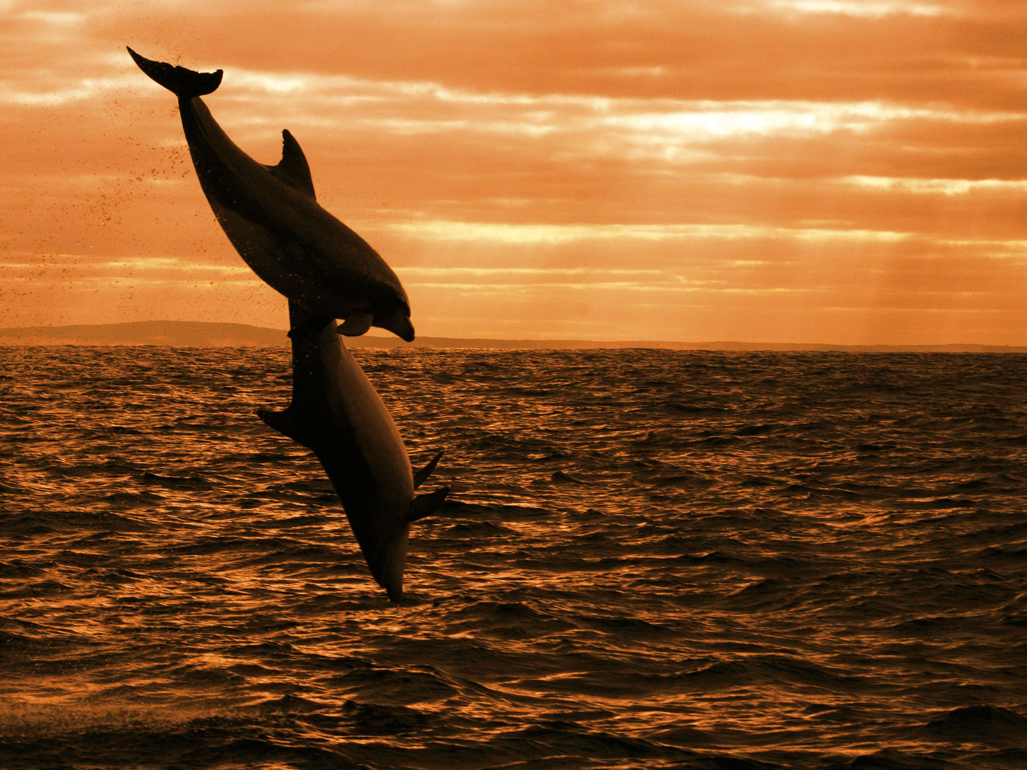 Australia: Dolphins leaping at sunrise. This image is from Dolphin Dynasty. [Photo of the day - 十月 2016]