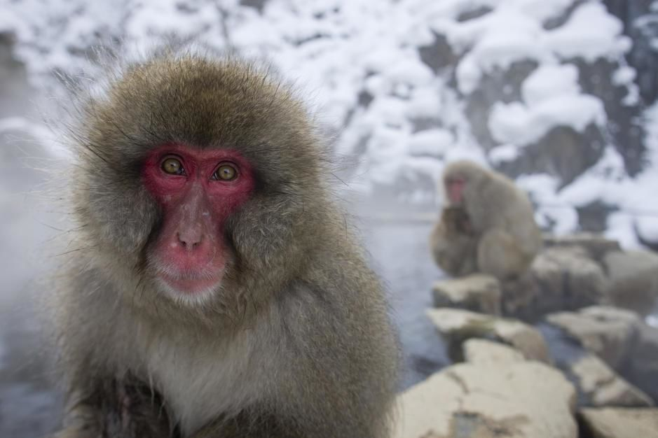 Adult snow monkey in thermal springs, Honsu. [תמונת היום - פברואר 2011]