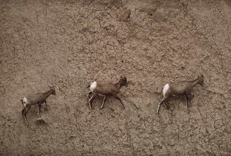 Three American bighorn sheep make their way across an impossibly steep slope in Badlands National... [תמונת היום - פברואר 2011]