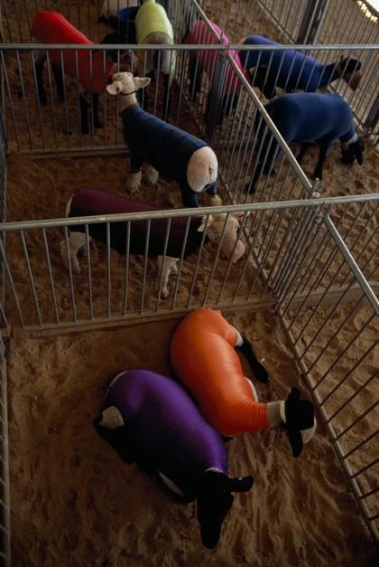 Stretch fabric protects newly-washed sheep from dirt prior to a livestock contest in Minnesota. [Photo of the day - יולי 2011]