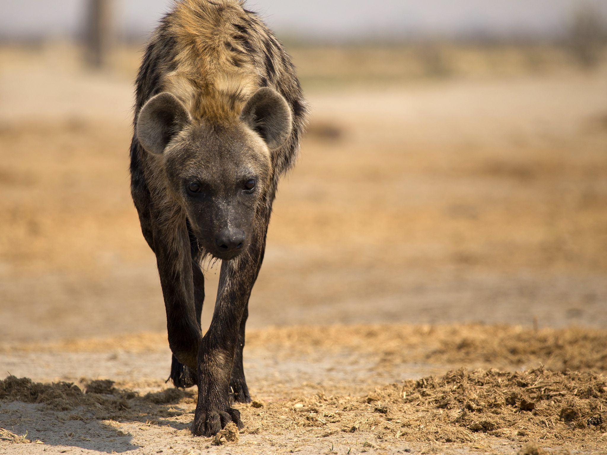 Botswana: Zalika's daughter and princess of the hyena clan walks over arid ground at Marabou... [Photo of the day - November 2016]