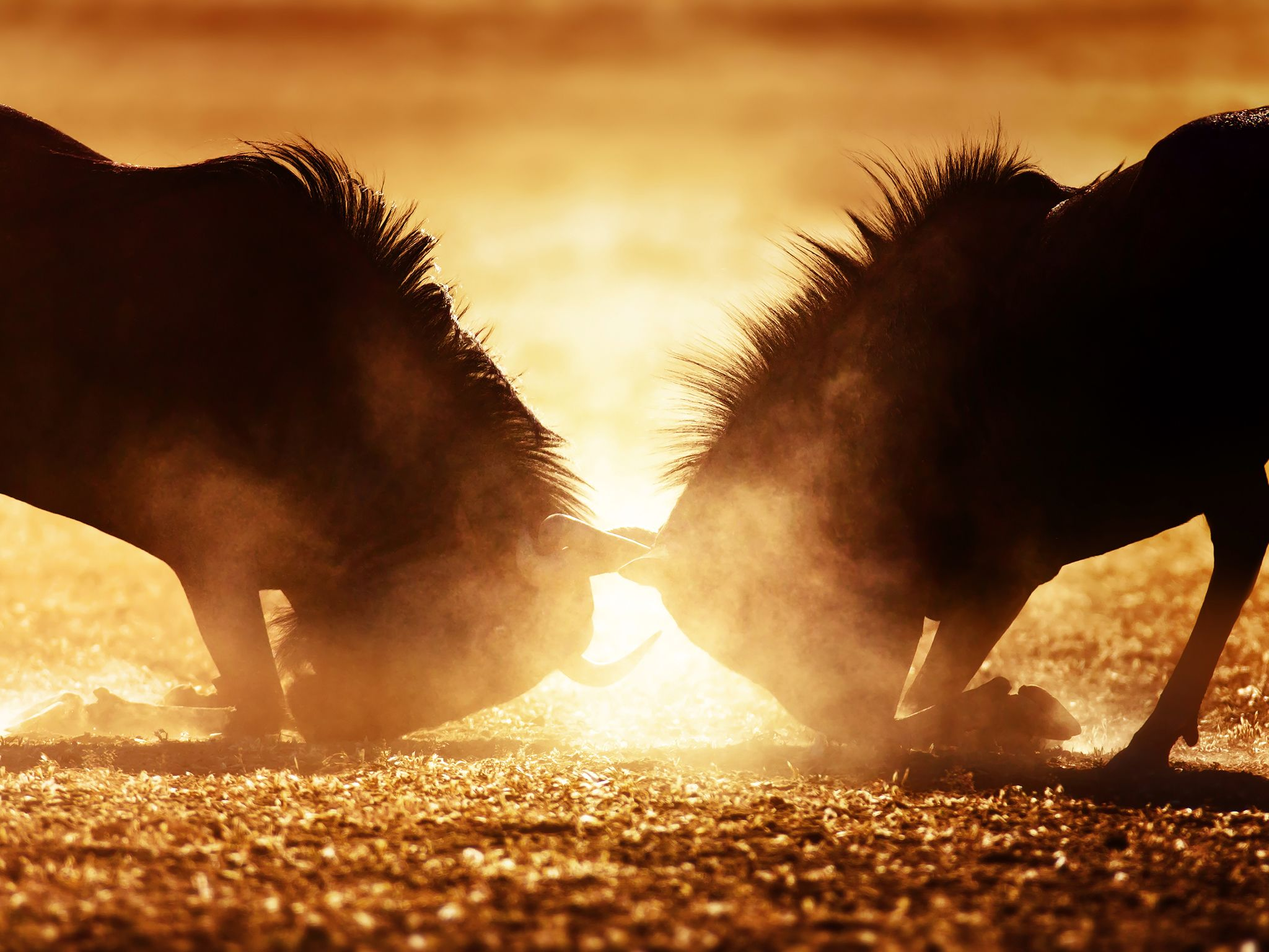 Blue wildebeest dual in dust. This image is from Animal Fight Club. [Photo of the day - دسامبر 2016]