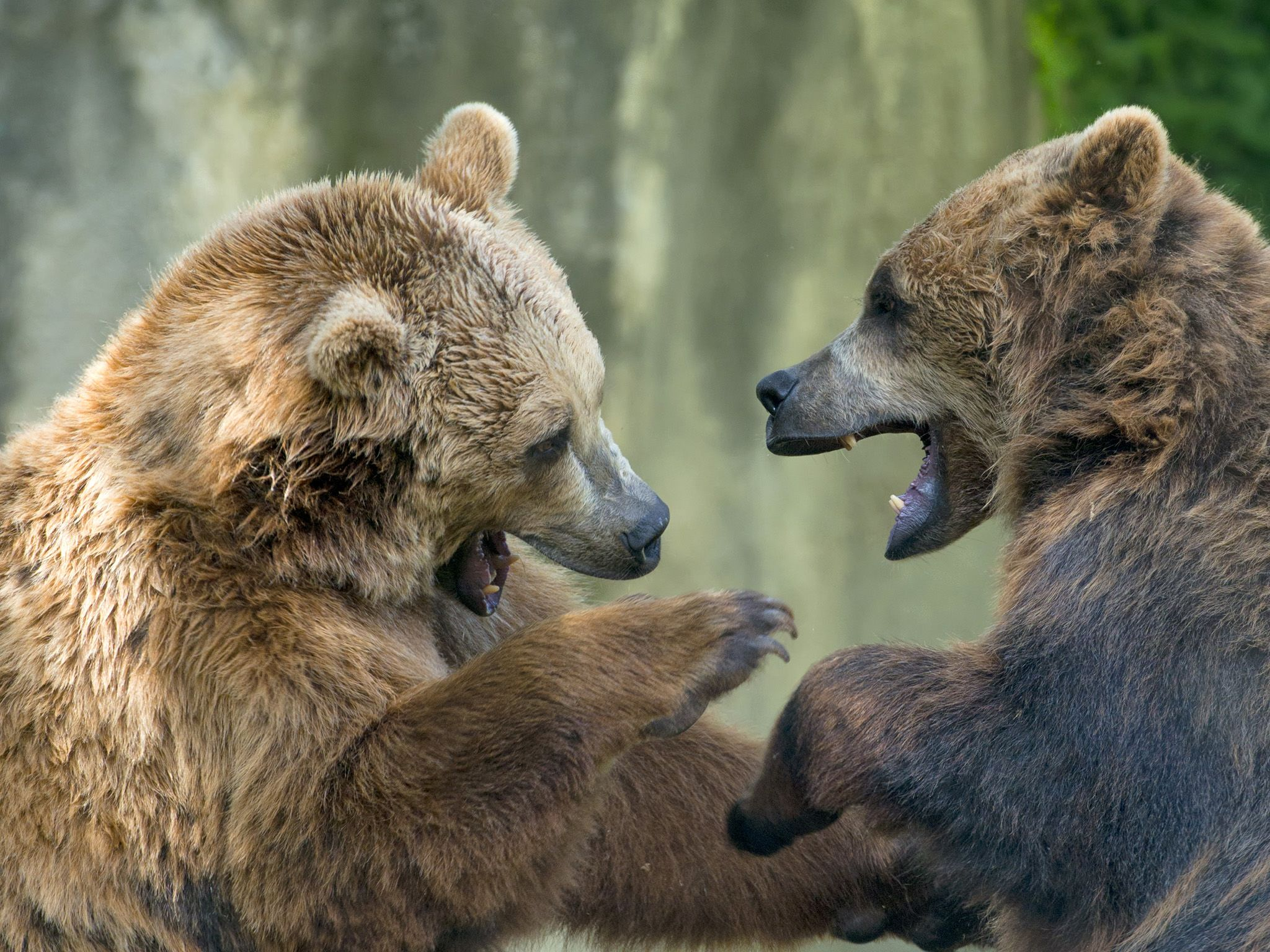 Two black grizzly bears while fighting. This image is from Animal Fight Club. [Photo of the day - دسامبر 2016]