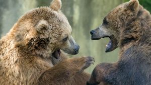Two black grizzly bears while... [Photo of the day -  5 ديسمبر 2016]