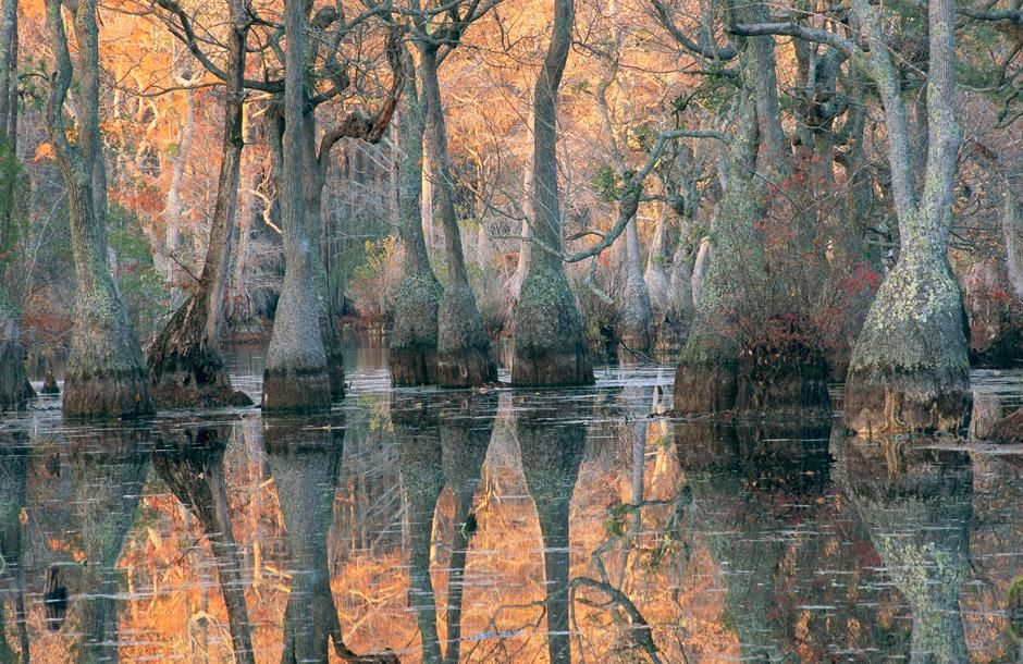 Sunlight through a cyprus swamp. Merchants Millpond State Park, North Carolina [Dagens billede - januar 2012]