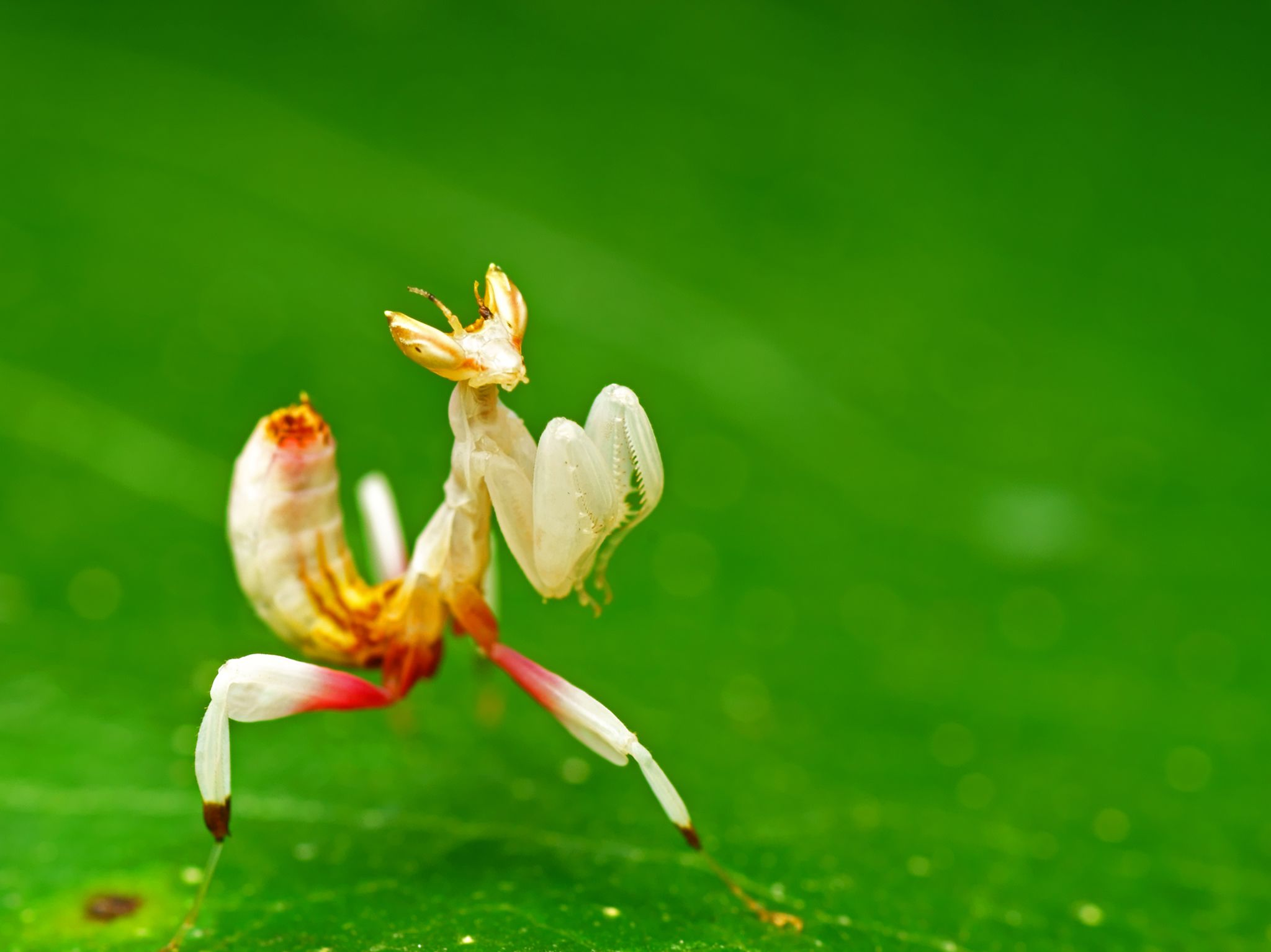 The delicate orchid mantis is a merciless hunter in a beautiful disguise. This image is from... [Photo of the day - 一月 2017]