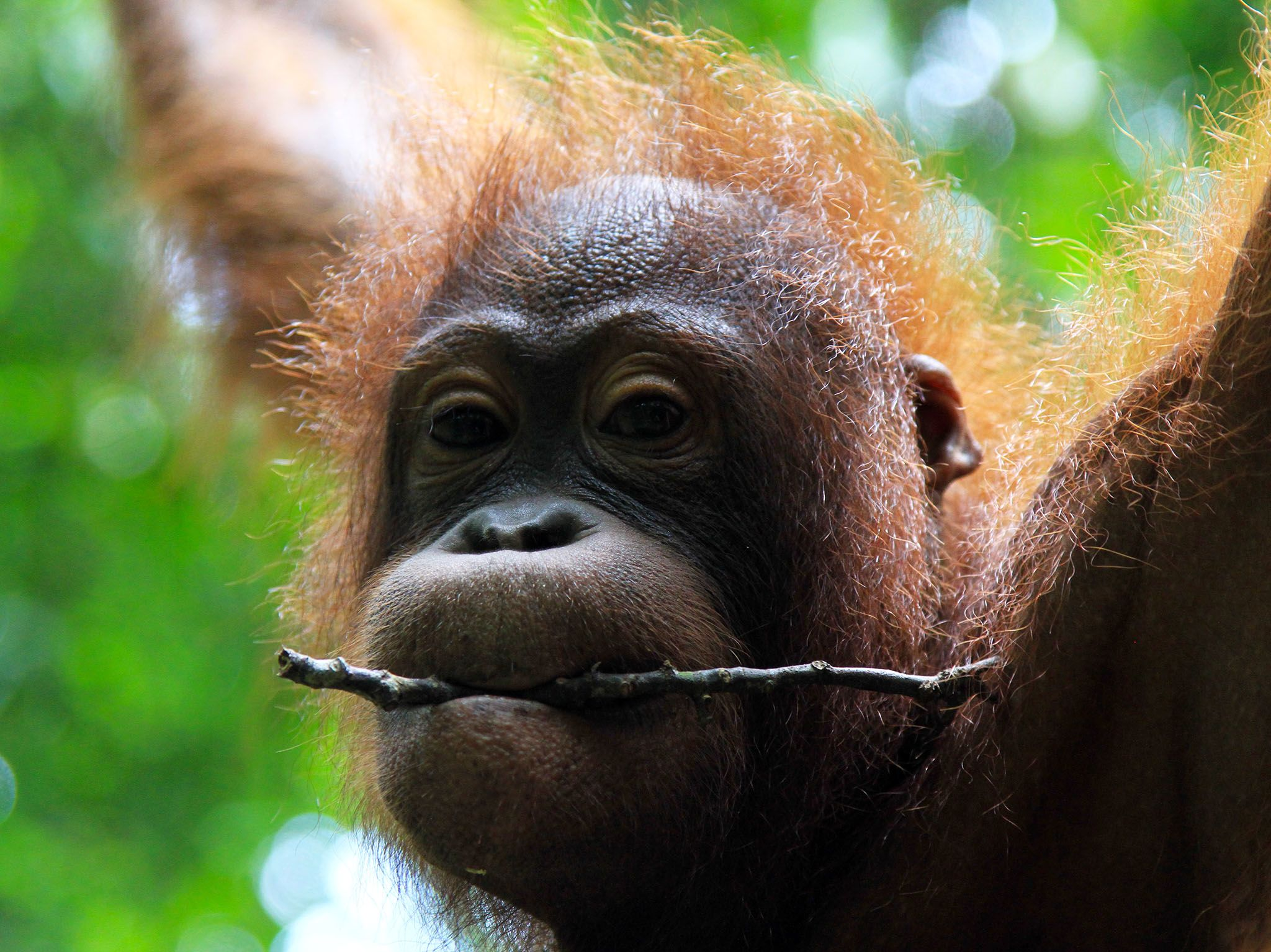 Malaysia: Baby orangutan holding stick in mouth. This image is from Borneo's Secret Kingdom. [Photo of the day - 一月 2017]