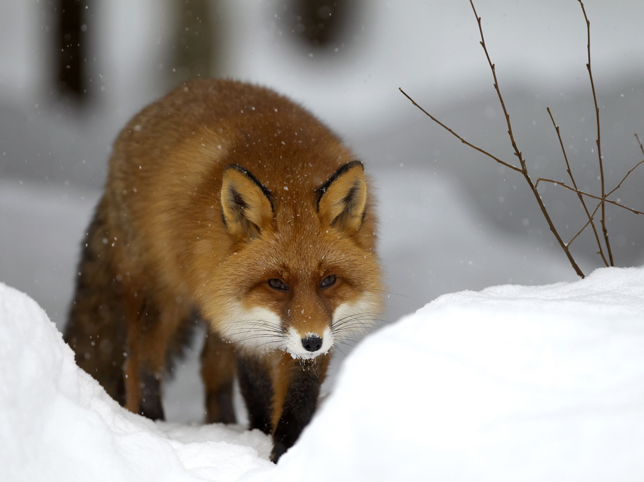 The red fox can hunt through snow like few other animals, tracking rodents by scent and diving... [Photo of the day - January 2017]