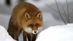 The red fox can hunt through snow... [Photo of the day - 15 JANUARY 2017]