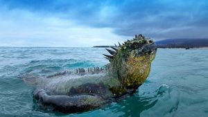 A marine iguana swims back to land. ... [Photo of the day - 20 一月 2017]