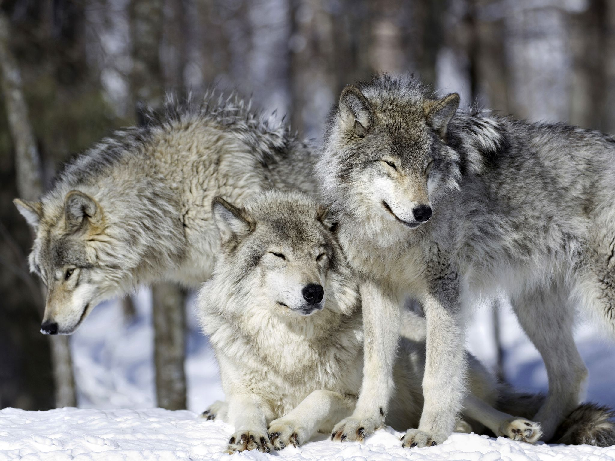 Once exterminated from the Rockies, the grey wolf is back in growing numbers so that it can once... [Photo of the day - January 2017]
