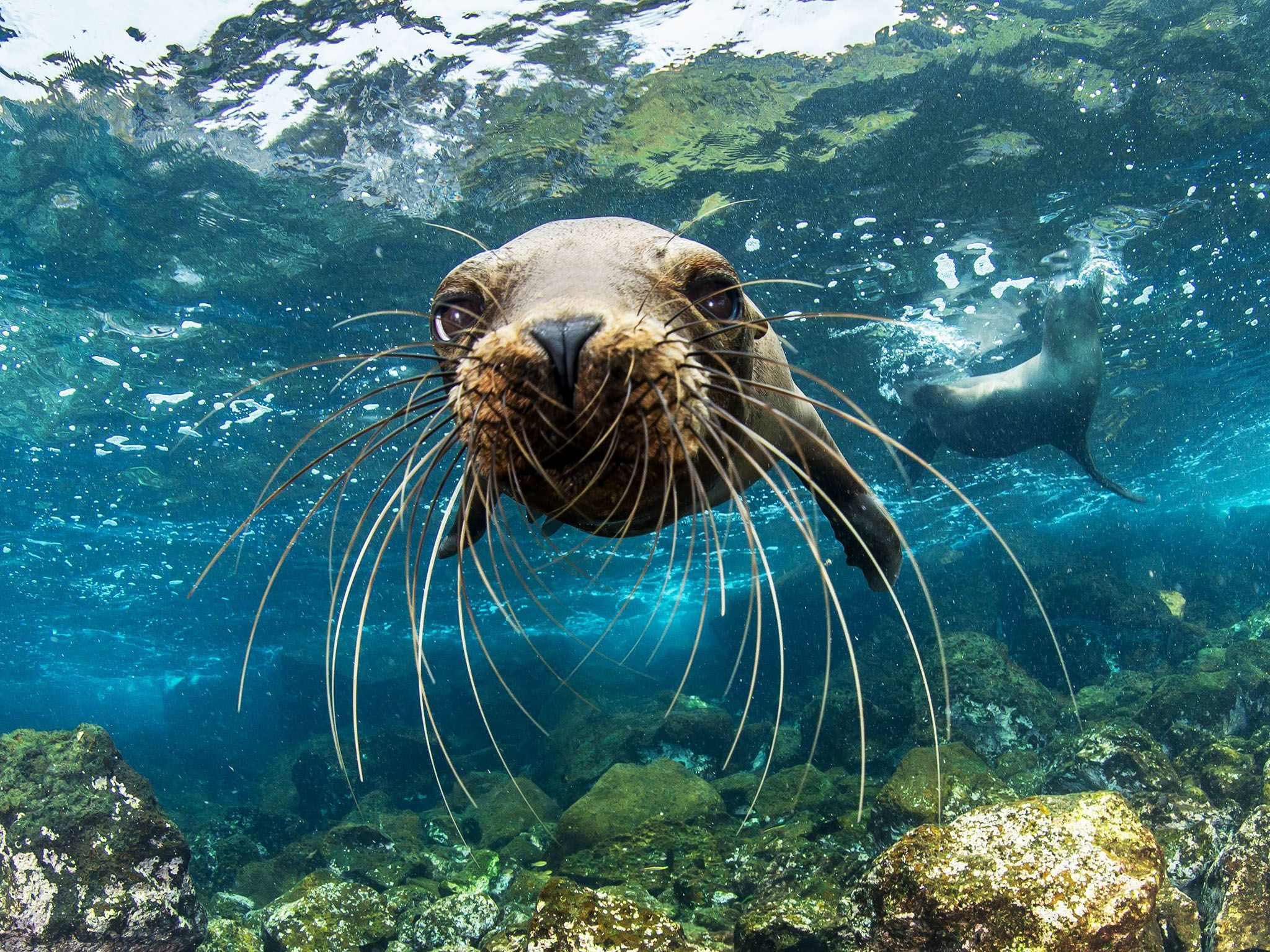 A young Galapagos sea lion approaches Enric Sala's camera curiously off Santa Cruz Island. This... [Photo of the day - January 2017]