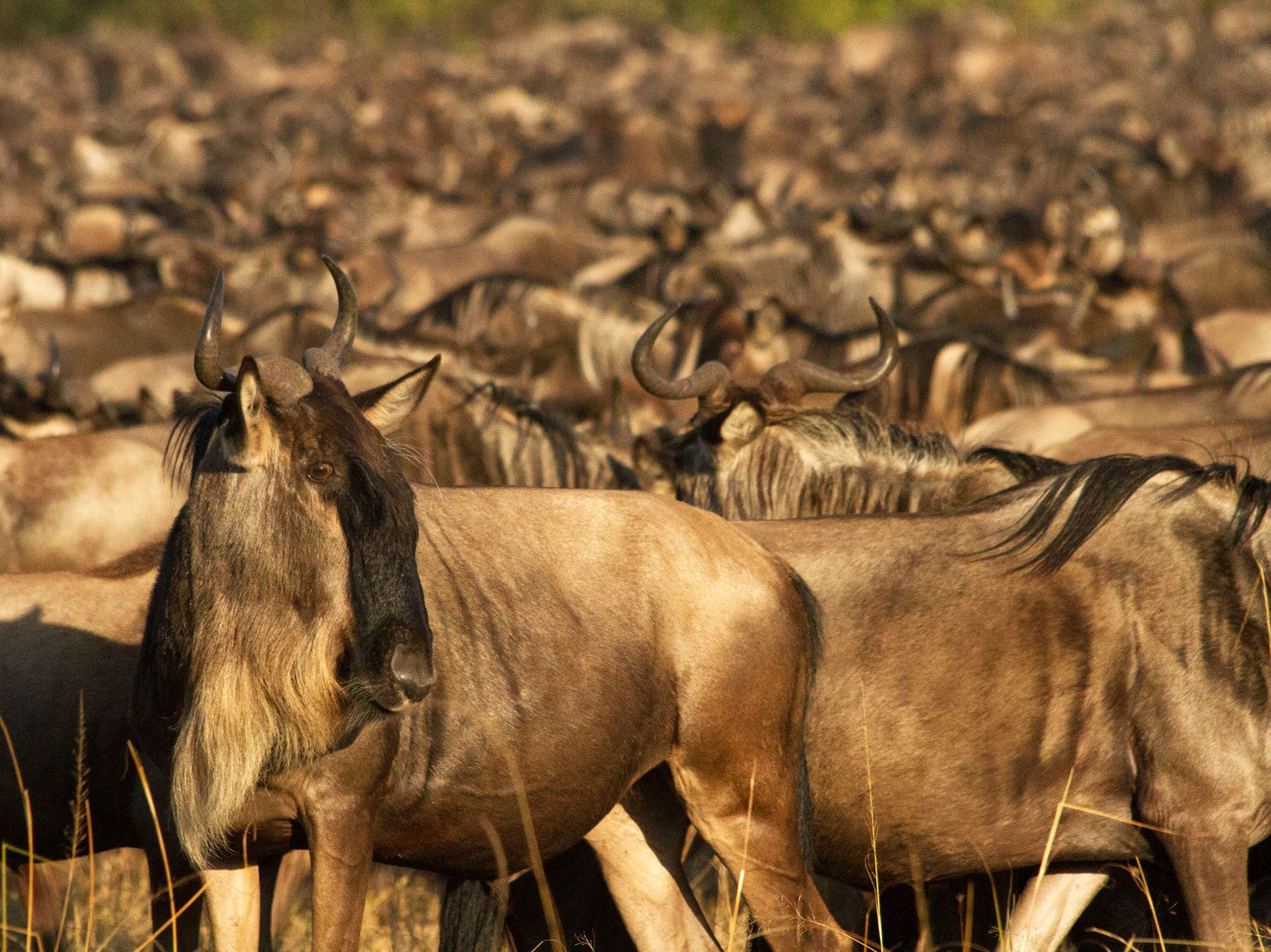 Kenya: Large herd of wildebeest waiting and gathering before crossing the Mara River. This image... [Photo of the day - January 2017]