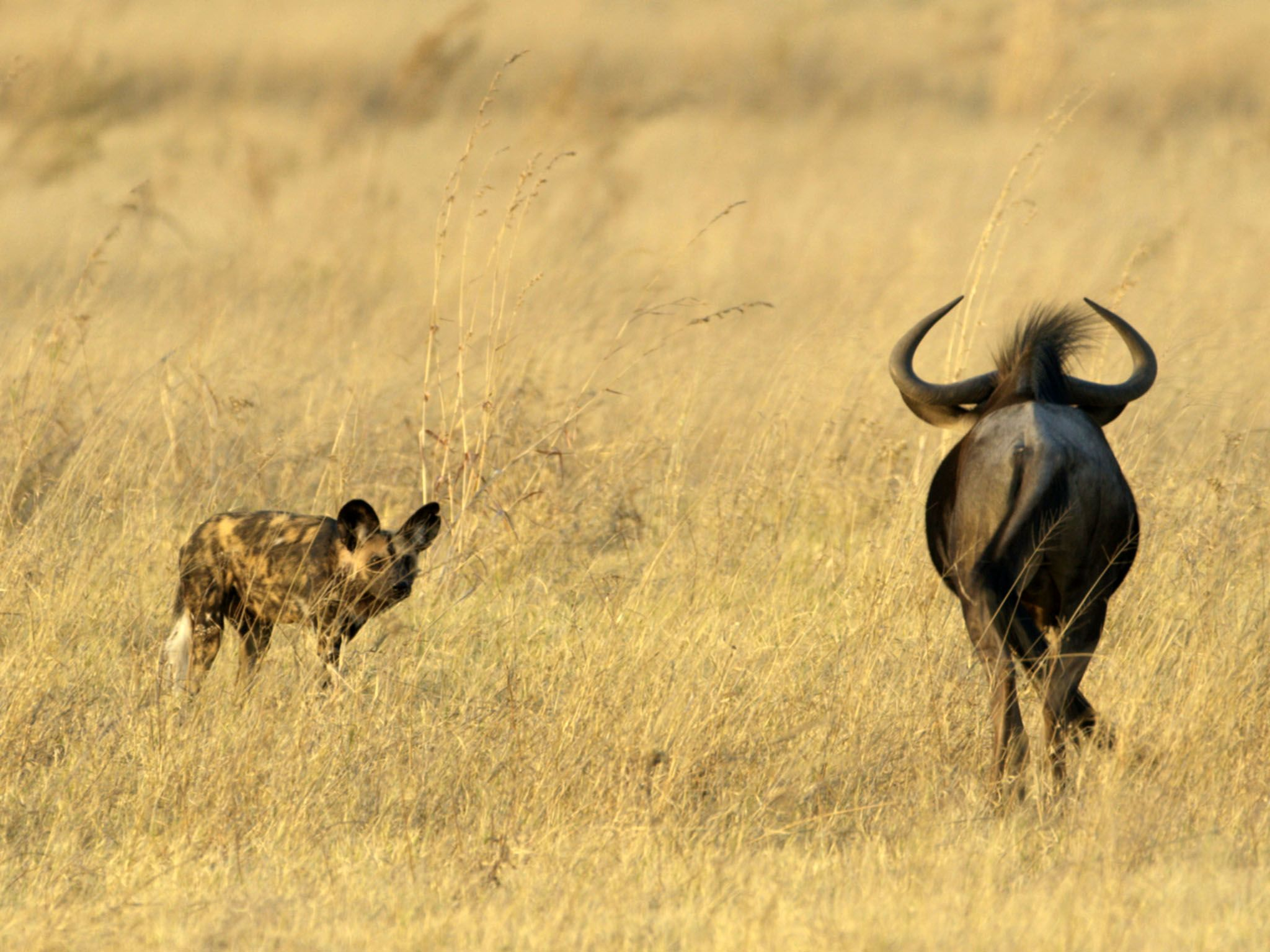 Moremi Game Reserve, Botswana:  A large, stalking water buffalo can outweigh a wild dog by over... [Photo of the day - 二月 2017]