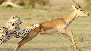 Botswana:  Two cheetah bring down an... [תמונת היום - 28 פברואר 2017]