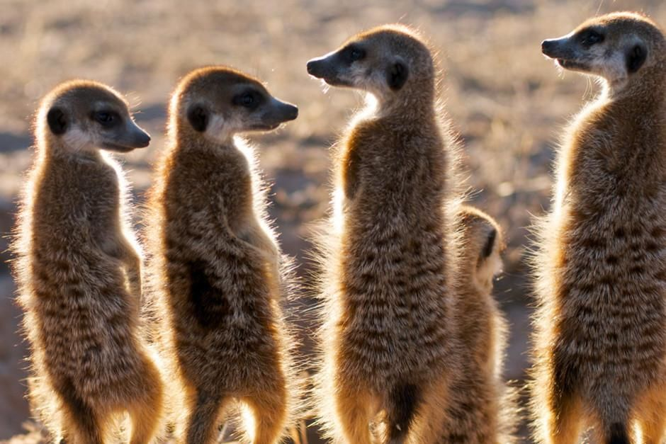 Five meerkats sun at the burrow at sunrise,  Kuruman River Reserve.  This image is from Clan of t... [Photo of the day - februari 2012]