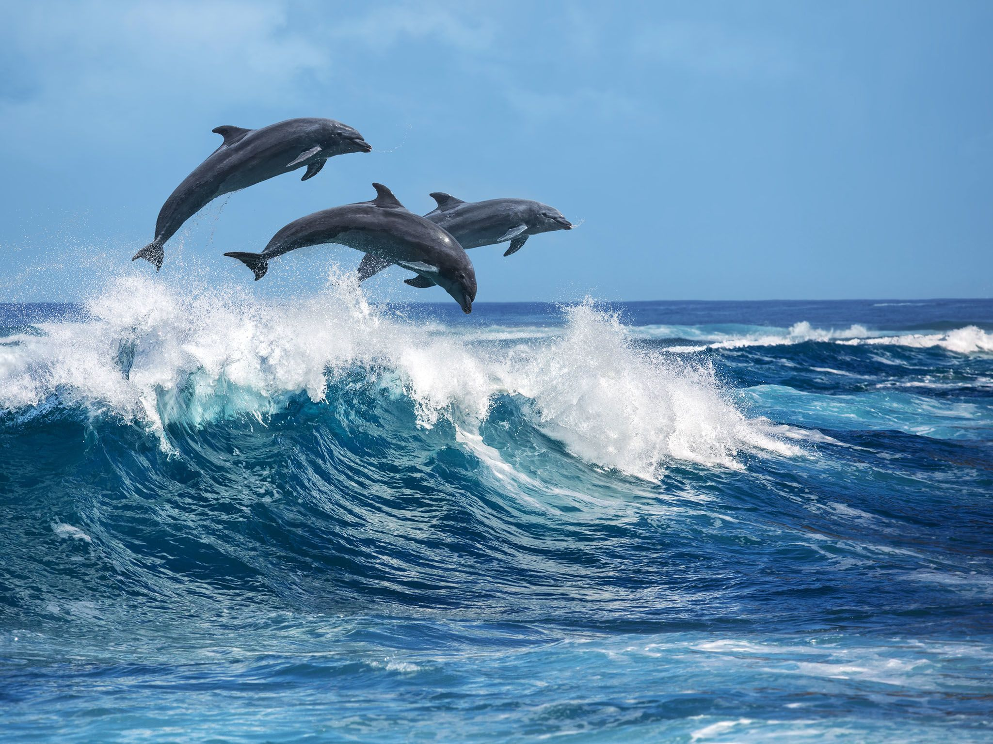 Hawaii: Three beautiful dolphins jumping over breaking waves. Hawaii Pacific Ocean wildlife... [Photo of the day - مارس 2017]