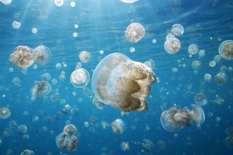 At Jellyfish Lake in Palau five million jellyfish glide across the lakes surface each day in a s... [Photo of the day - February 2012]