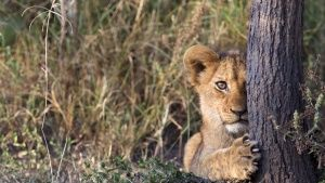 Rwanda: Lion cub peeking out from... [Photo of the day - 28 مارس 2017]