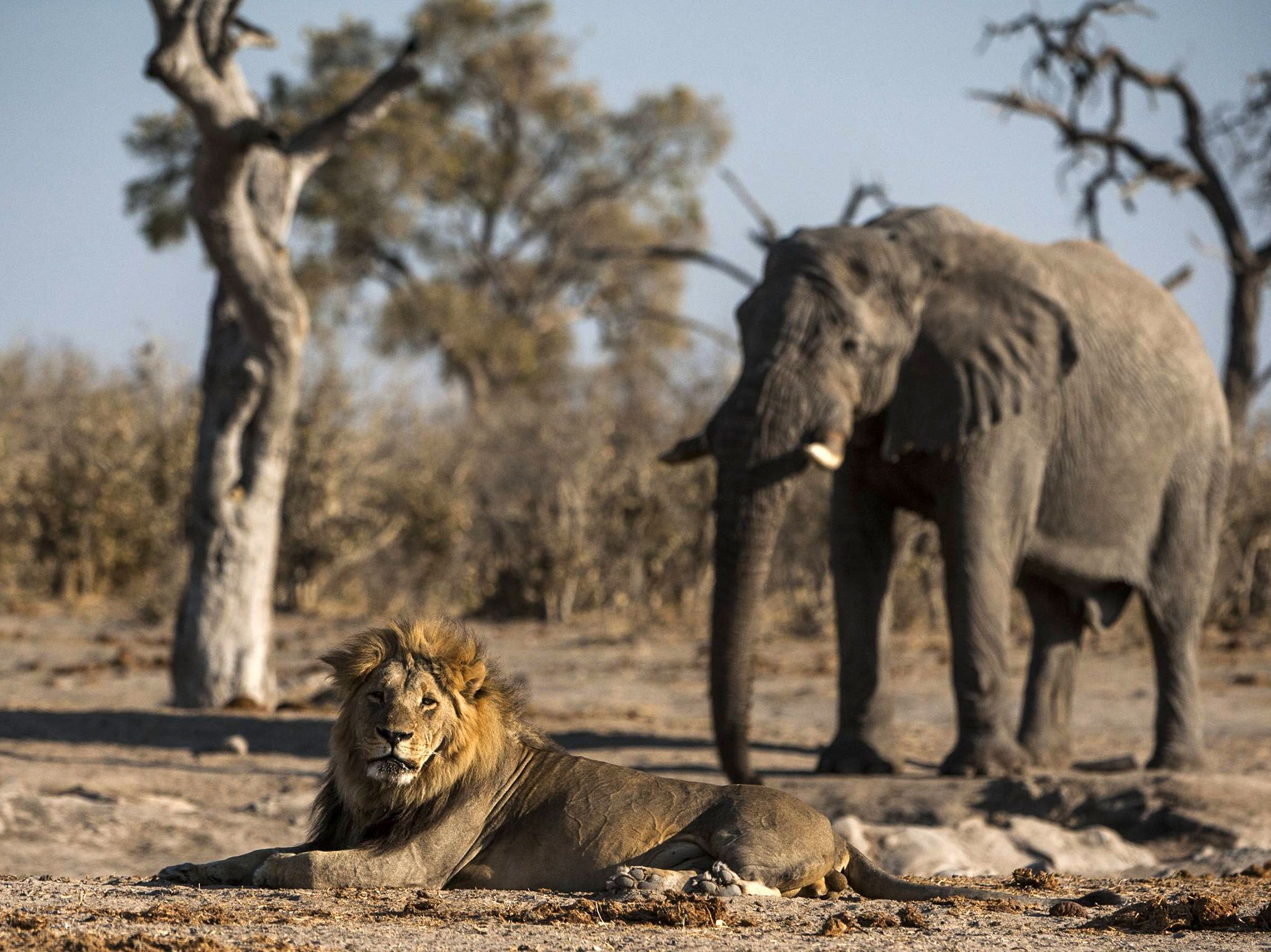 Botswana:  Water is scarce in Savute as the dry season begins. In this image a large male lion... [Photo of the day - March 2017]