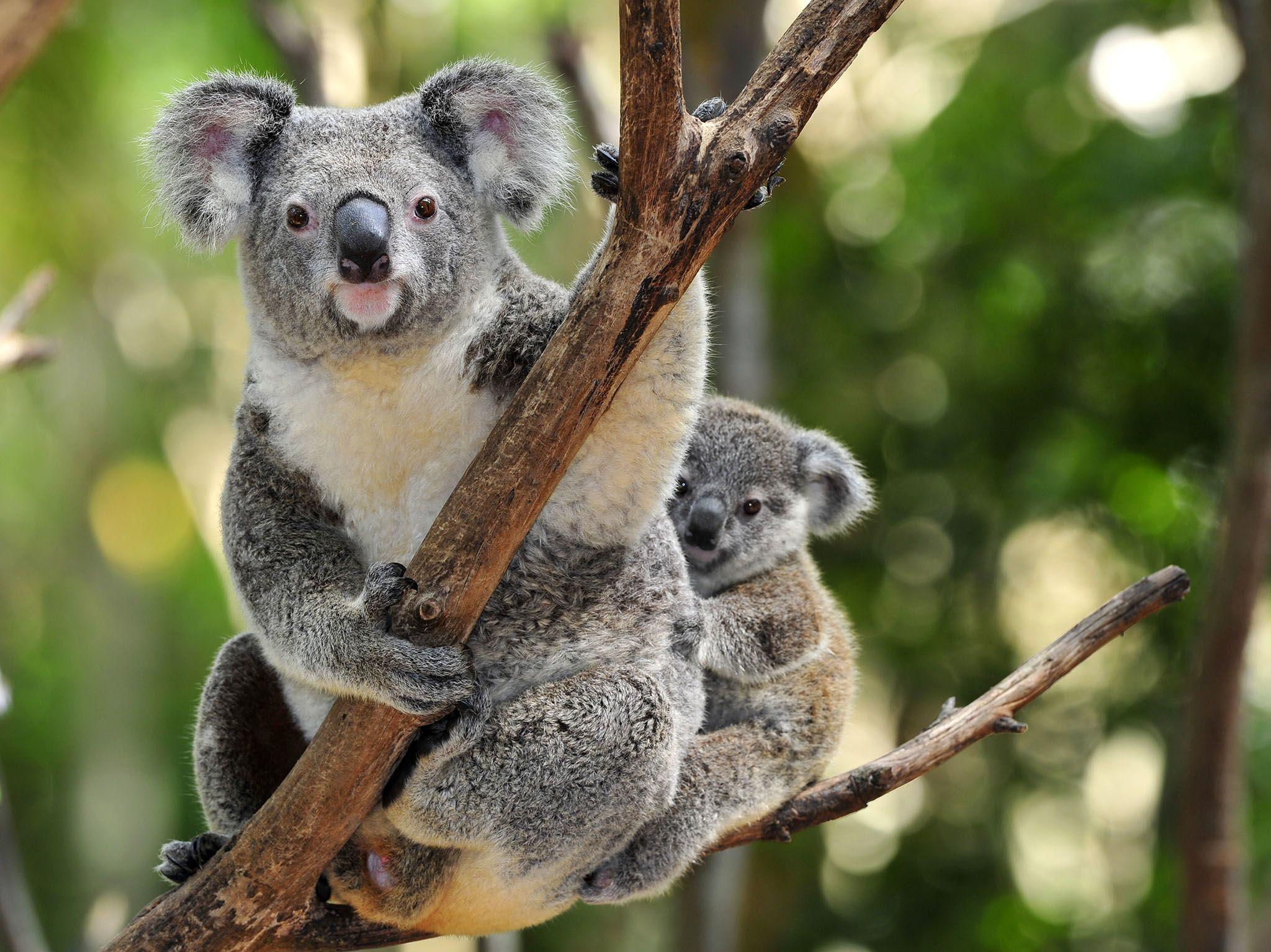Sydney, Australia: Australian koala bear with her baby or joey in eucalyptus or gum tree,... [Photo of the day - March 2017]