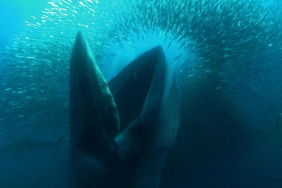 A Brydes whale with it's mouth wide open feeds off sardines in a baitball in Port Edwards, South ... [Dagens foto - februari 2012]