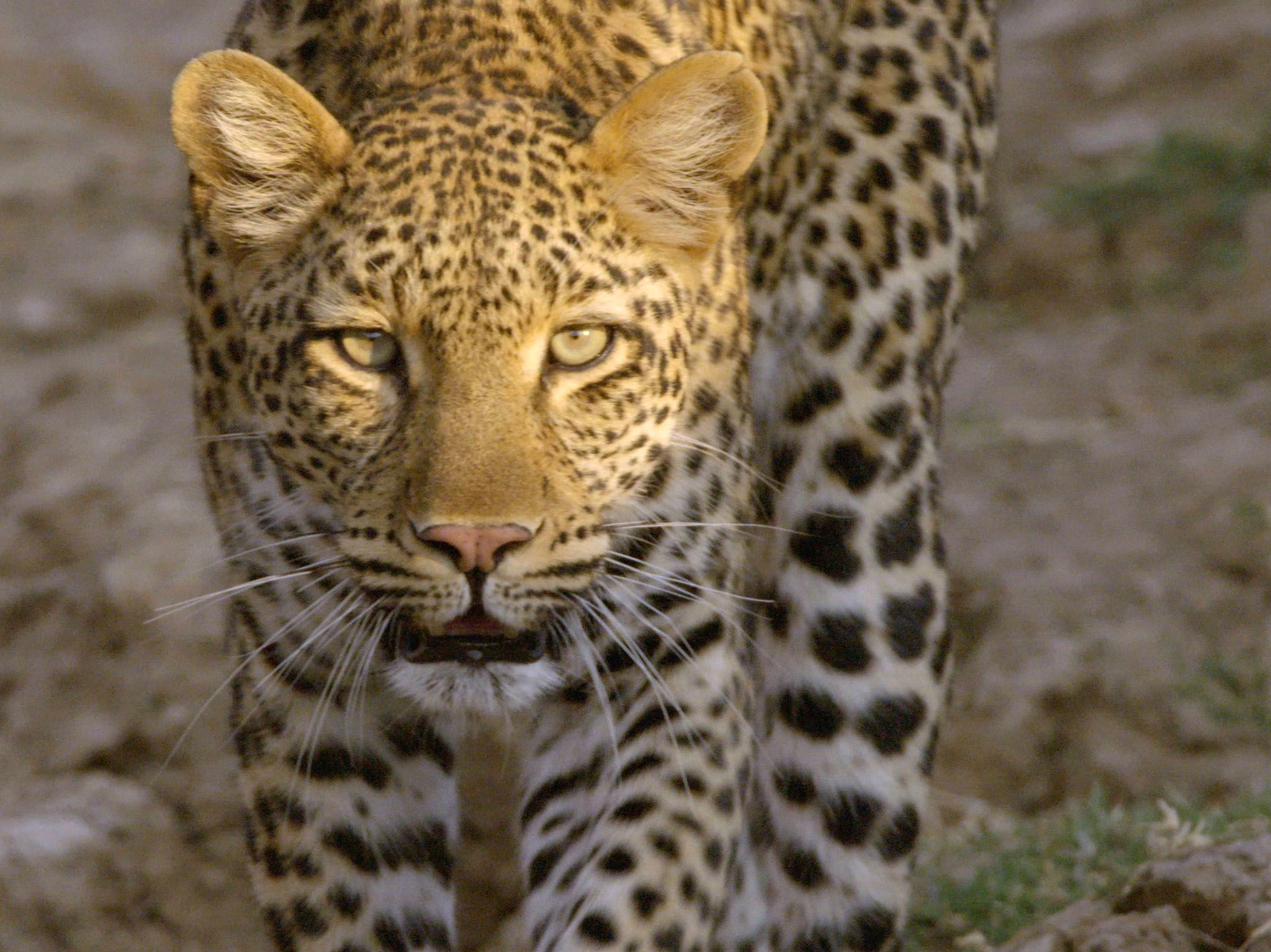 Leopard slowly approaching camera. This image is from Africa's Hunters. [Photo of the day - March 2017]