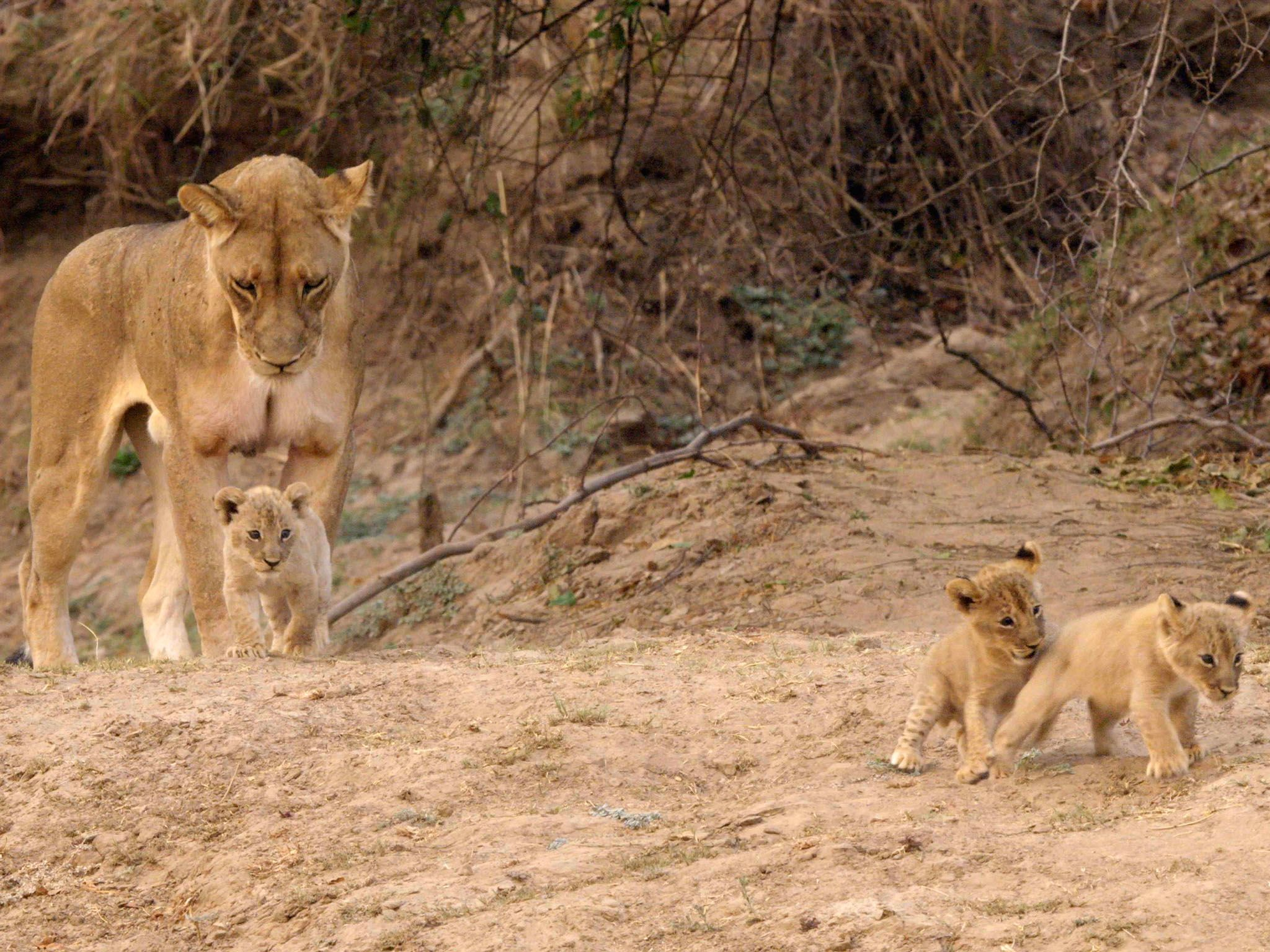 Pride's cubs. This image is from Africa's Hunters. [Photo of the day - March 2017]