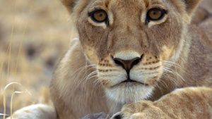 Botswana:  Female lion cub. This... [Photo of the day - 26 MARCH 2017]