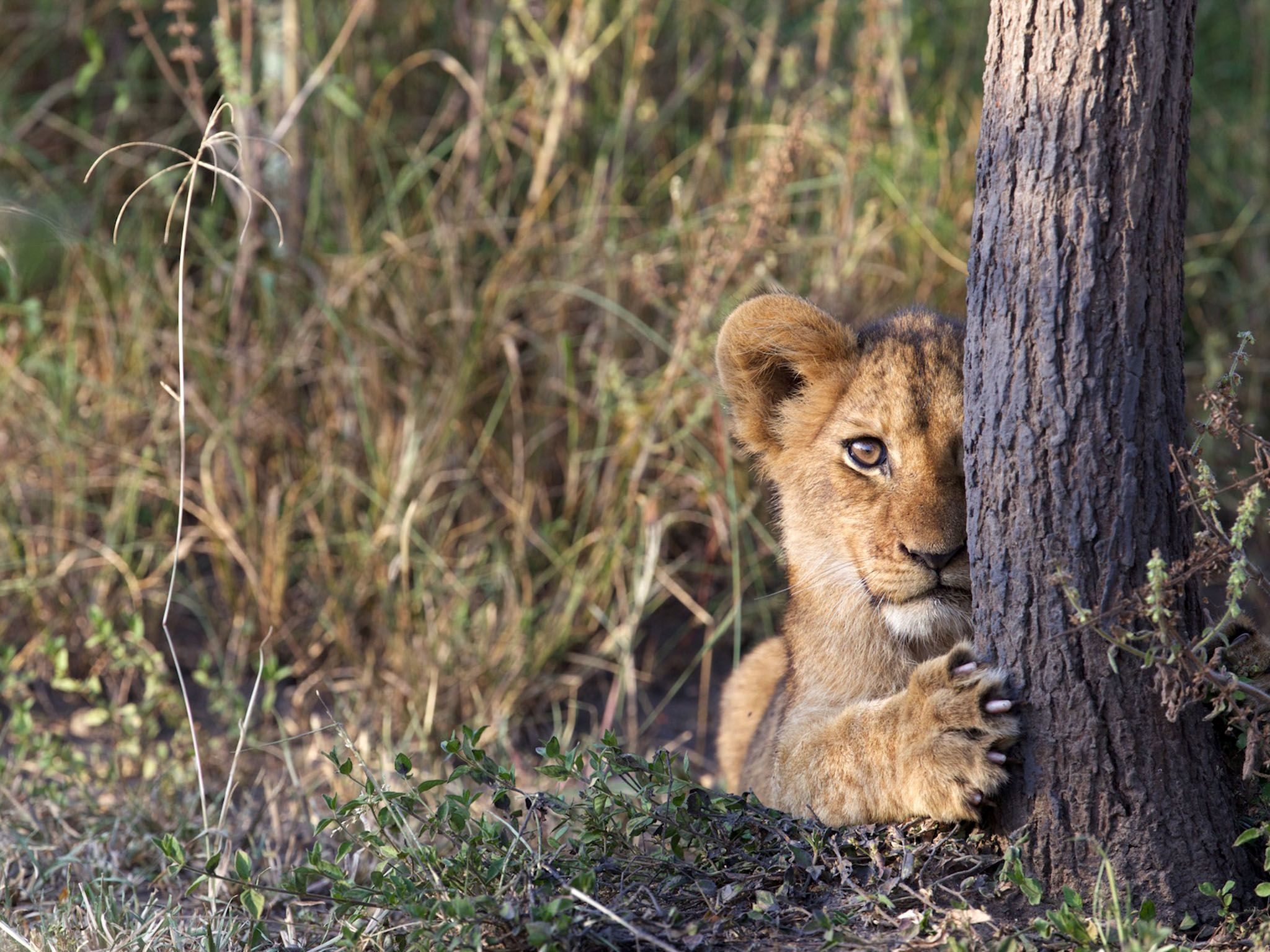 Rwanda: Lion cub peeking out from behind tree trunk in Akagera National Park, Rwanda. This image... [Photo of the day - March 2017]