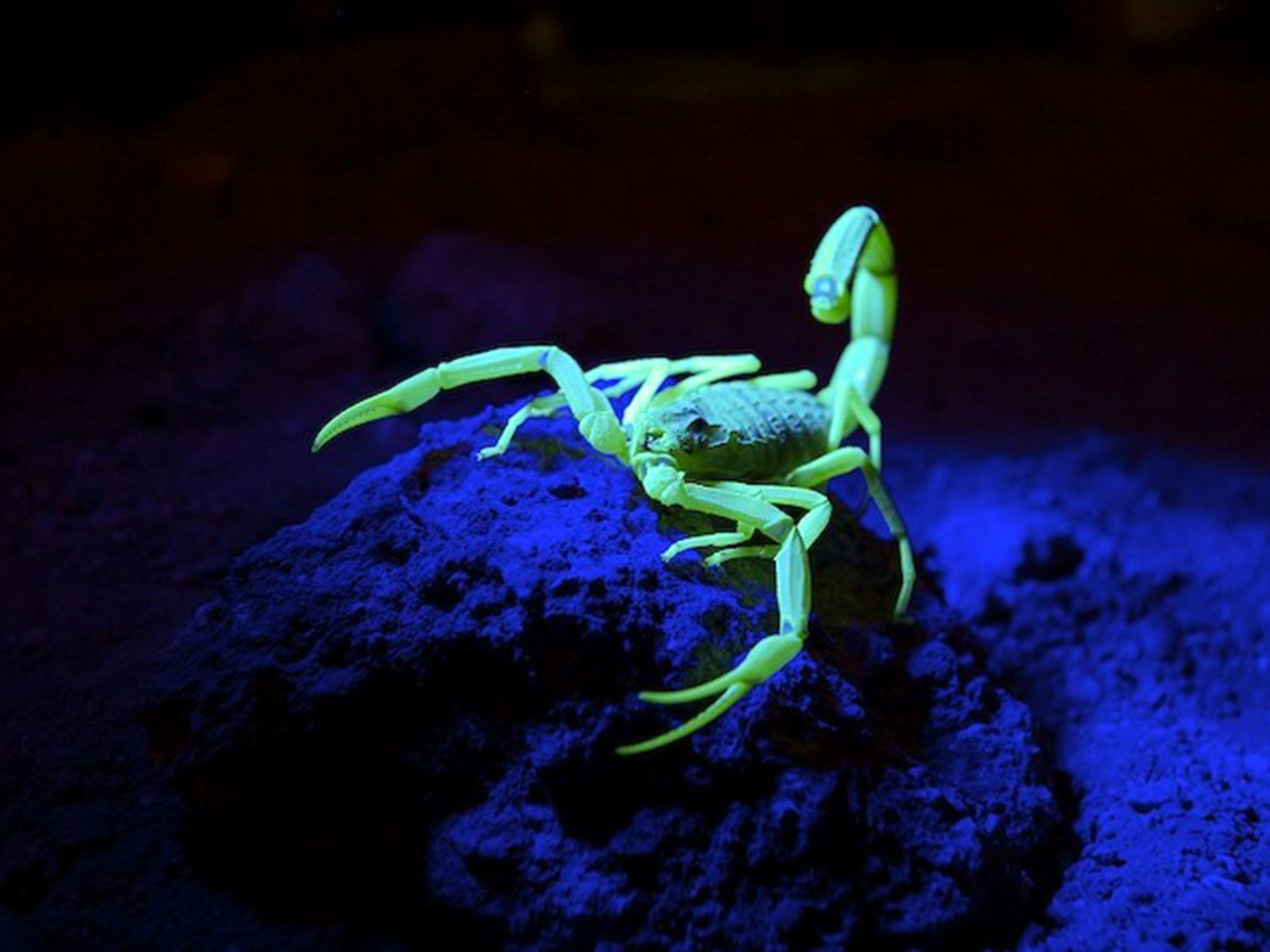 The death stalker scorpion glows underneath black light. This image is from Bite, Sting, Kill. [Photo of the day - April 2017]