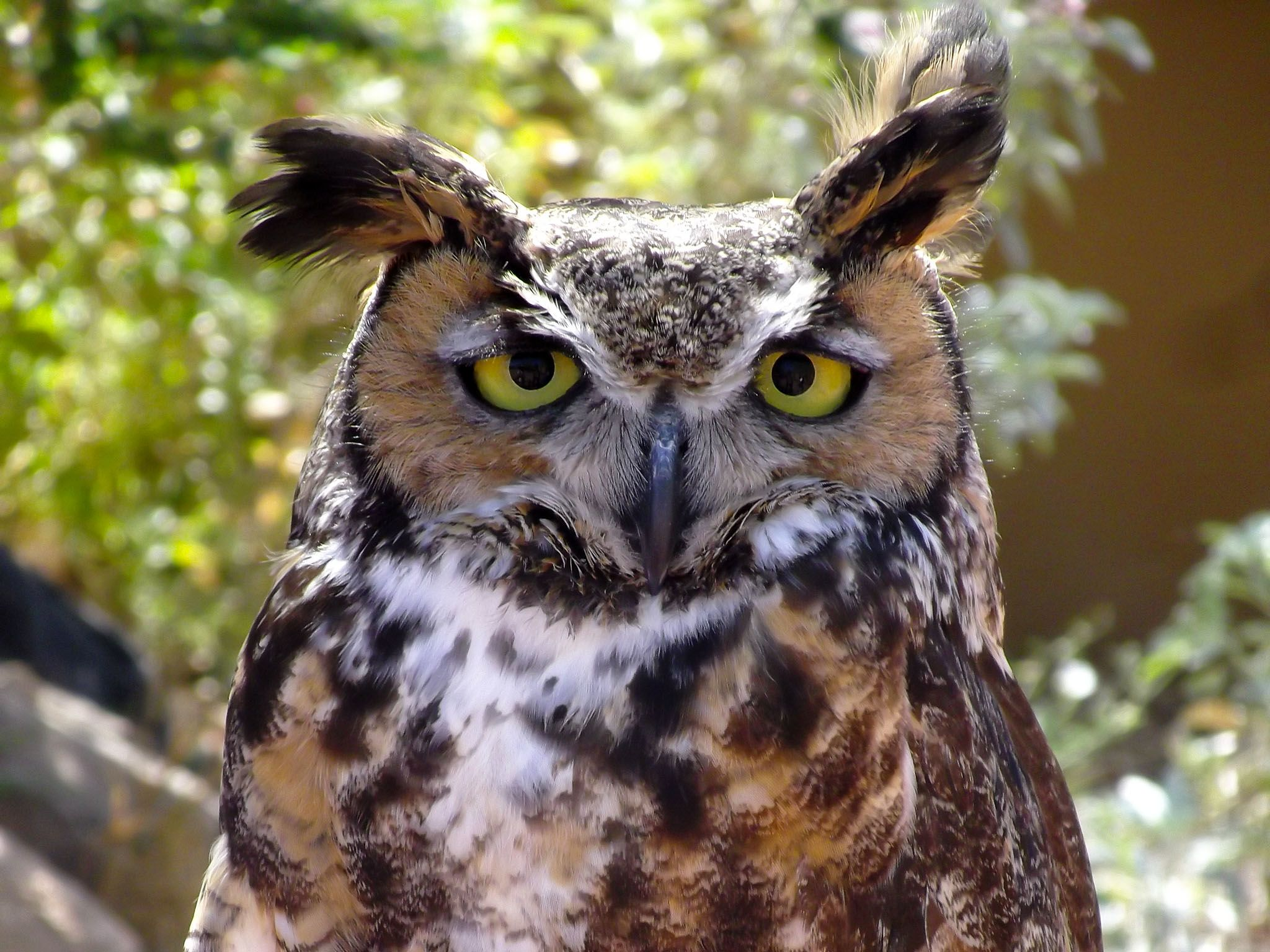 Arizona: Great horned owl. This image is from The Desert Sea. [Photo of the day - April 2017]