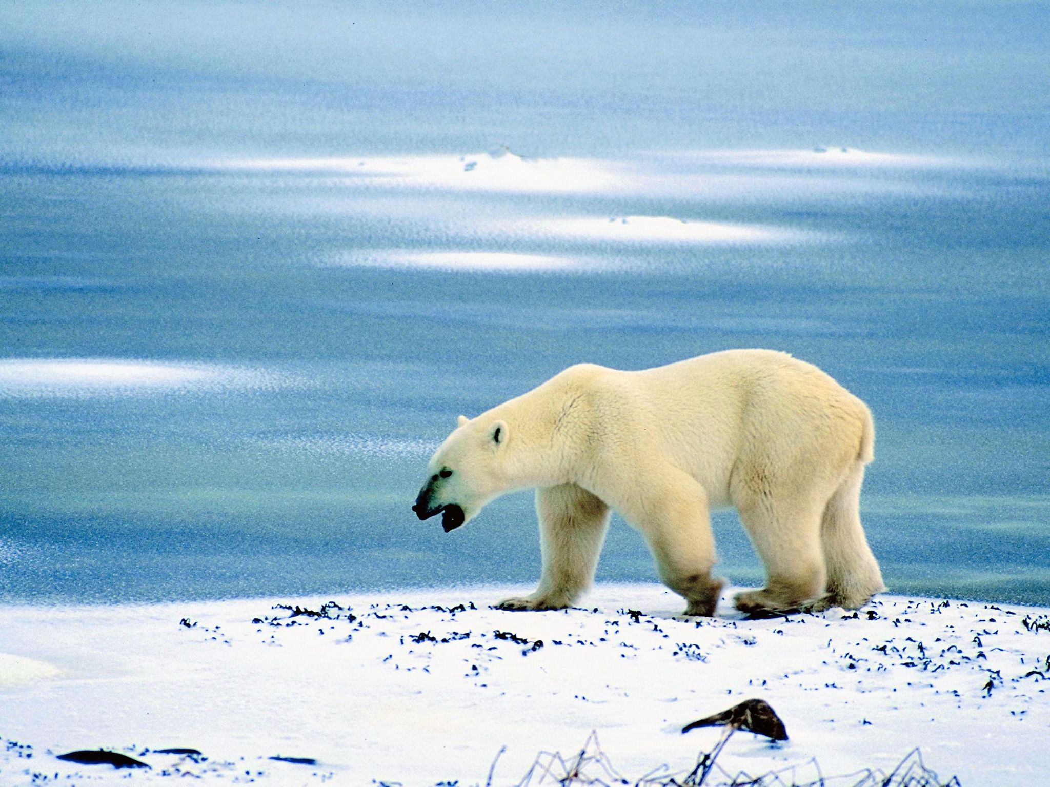 A polar bear at the seaside. This image is from Planet Carnivore. [Photo of the day - April 2017]