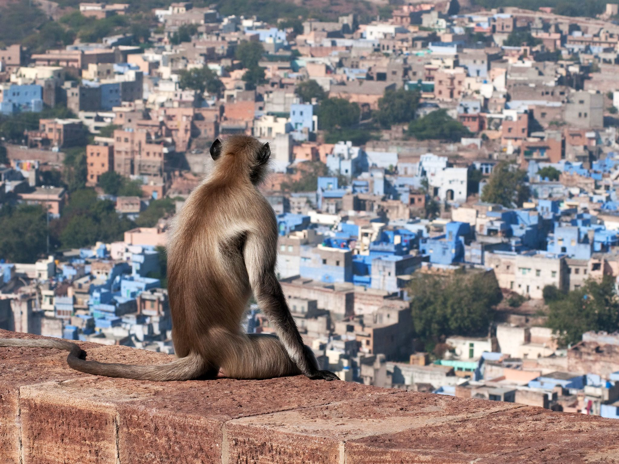 Thar: Honoured above all of jodhpur's wild inhabitants, is the hanuman langur, believed to be... [Photo of the day - April 2017]