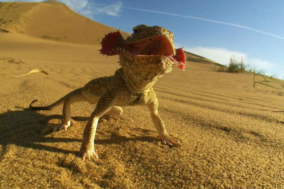 When other animals are out hunting, the toad-headed agama usually takes cover but it can also be ... [Foto do dia - Fevereiro 2012]