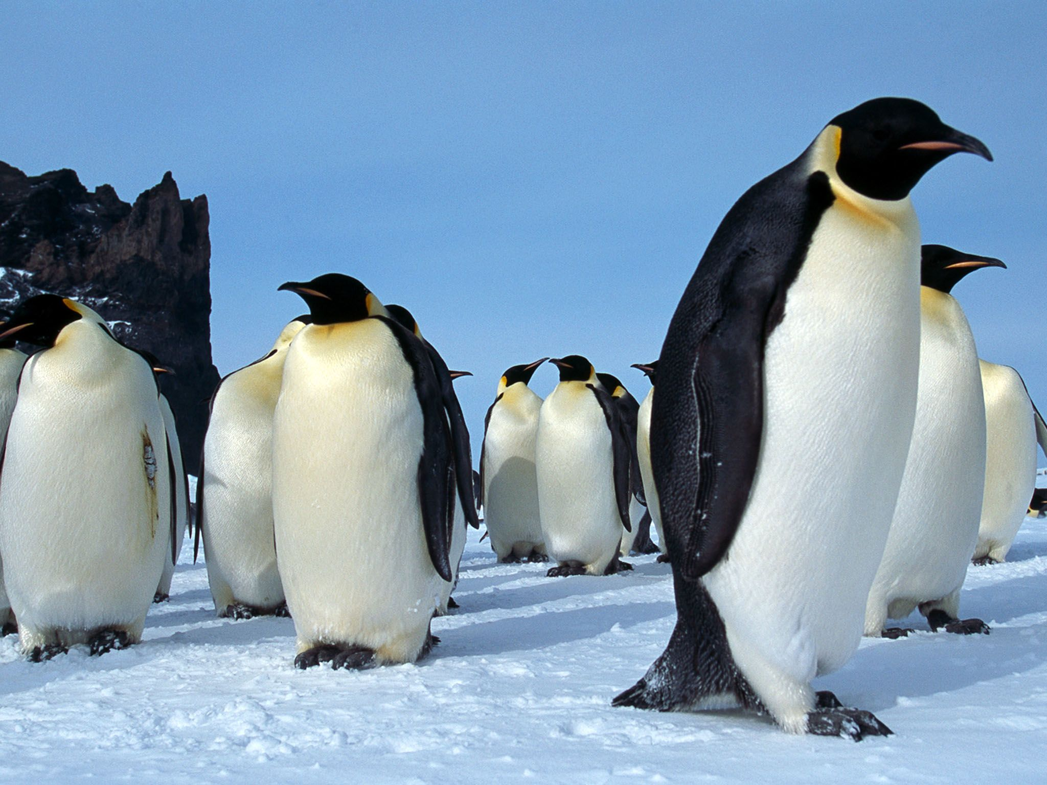 Cape Washington, Antarctica: A group of adult emperor penguins stand together on the ice in Cape... [Photo of the day - April 2017]