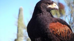 Arizona: Harris's Hawk in Sonoran... [Dagens foto - 21 APRIL 2017]