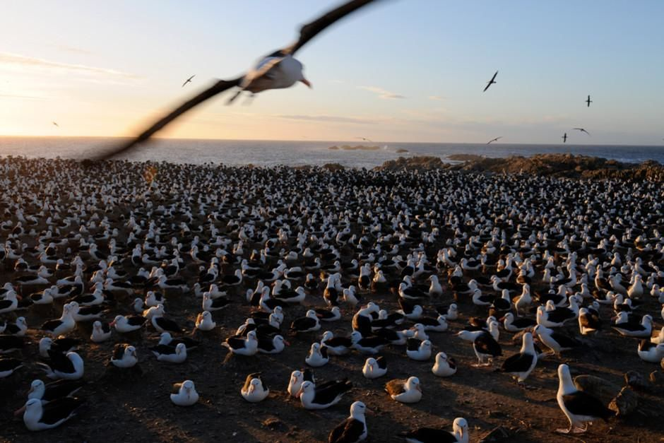 The black-browed albatross soars in on its 8-foot wingspan to mate on land at Falkland Islands. T... [Dagens foto - februari 2012]