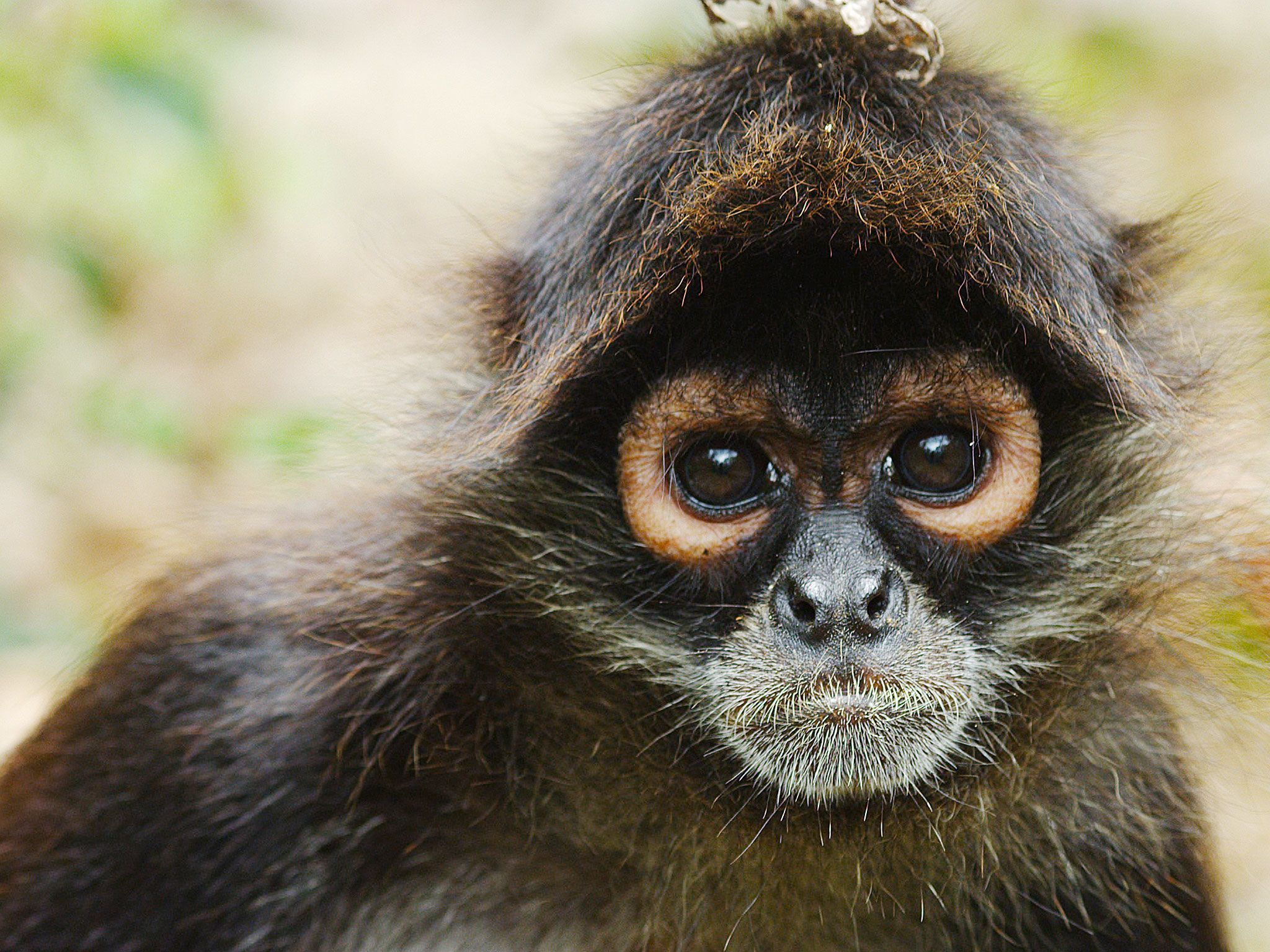 A Monkey. This image is from Return of the Spider Monkeys. [Photo of the day - May 2017]