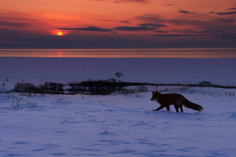 Foxes don't hibernate.  They grow thicker seasonal fur to survive plummeting temperatures on Russ... [Фото дня - Февраль 2012]